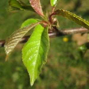 Photographie n°67555 du taxon Prunus avium (L.) L. [1755]
