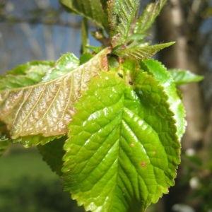 Photographie n°67557 du taxon Prunus avium (L.) L. [1755]