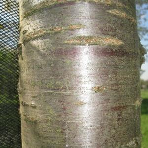 Photographie n°67559 du taxon Prunus avium (L.) L. [1755]