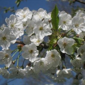 Photographie n°67563 du taxon Prunus avium (L.) L. [1755]