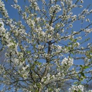 Photographie n°67566 du taxon Prunus avium (L.) L. [1755]