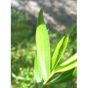 Salix alba cv. Tristis