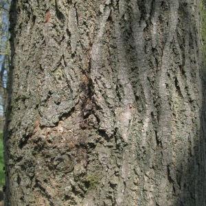 Photographie n°67608 du taxon Tilia platyphyllos Scop. [1771]