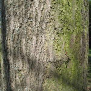 Photographie n°67611 du taxon Tilia platyphyllos Scop. [1771]