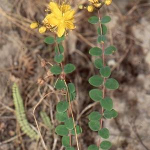 Photographie n°67654 du taxon Hypericum nummularium L. [1753]