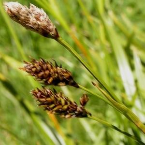 Photographie n°67675 du taxon Carex L.