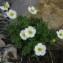 Joceline Chappert-bessiere - Ranunculus alpestris subsp. alpestris