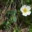 Joceline Chappert-bessiere - Ranunculus amplexicaulis L. [1753]