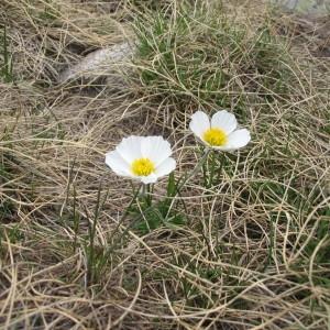 Photographie n°67714 du taxon Ranunculus pyrenaeus L.