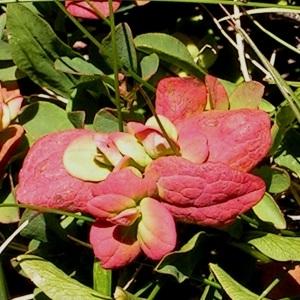 Photographie n°67716 du taxon Vaccinium uliginosum L.