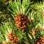 Alain Bigou - Pinus uncinata Ramond ex DC. [1805]