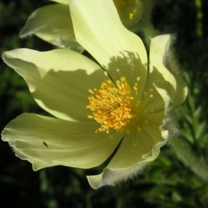 Photographie n°67762 du taxon Pulsatilla alpina subsp. apiifolia (Scop.) Nyman [1878]