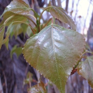 Populus nigra subsp. nigra var. italica Du Roi (Peuplier d'Italie)
