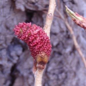 Photographie n°67821 du taxon Populus nigra var. italica Münchh. [1770]