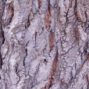 Photographie n°67822 du taxon Populus nigra var. italica Münchh. [1770]