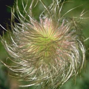 Photographie n°67832 du taxon Pulsatilla alpina subsp. apiifolia (Scop.) Nyman [1878]