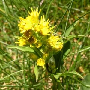 Solidago virgaurea subsp. minuta (L.) Arcang. (Petit Solidage)