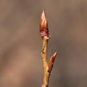 Photographie n°67900 du taxon Populus nigra L.