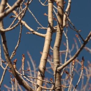 Photographie n°67901 du taxon Populus nigra L.
