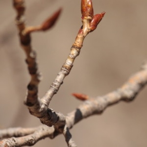 Photographie n°67902 du taxon Populus nigra L.