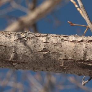 Photographie n°67903 du taxon Populus nigra L.