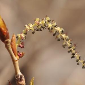 Photographie n°67905 du taxon Populus nigra L.