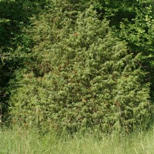 Photographie n°67916 du taxon Juniperus communis L. [1753]