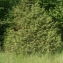 John De Vos - Juniperus communis L. [1753]