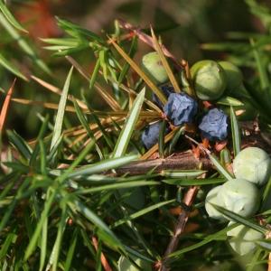Photographie n°67917 du taxon Juniperus communis L. [1753]