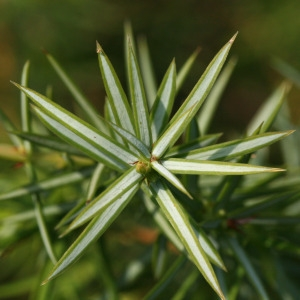 Photographie n°67918 du taxon Juniperus communis L. [1753]