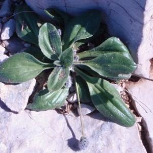 Photographie n°67928 du taxon Plantago lagopus L.