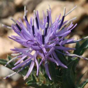 Carthamus carduncellus L. (Cardoncelle des Montpelliérains)