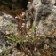 John De Vos - Chaenorhinum origanifolium (L.) Kostel. [1844]