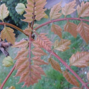Photographie n°68013 du taxon Koelreuteria paniculata Laxm.