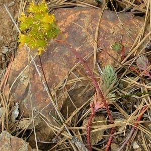 Photographie n°68024 du taxon Sedum rupestre L.