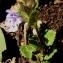 Alain Bigou - Glechoma hederacea L. [1753]