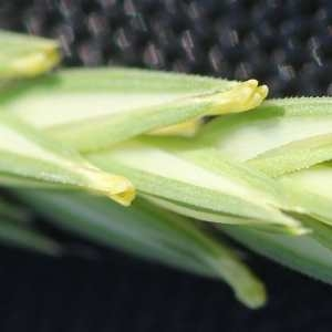 Photographie n°68103 du taxon Crucianella angustifolia L. [1753]