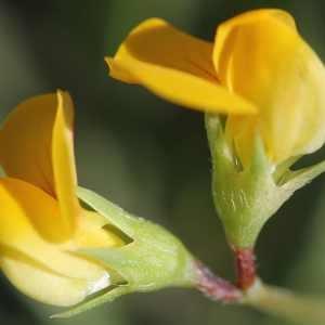 Scorpiurus vermiculatus L. (Chenillette à une fleur)
