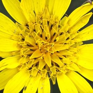 Tragopogon pratensis subsp. orientalis (L.) Celak. [1871] (Salsifis d'Orient)