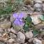Andrine Faure - Viola riviniana Rchb.