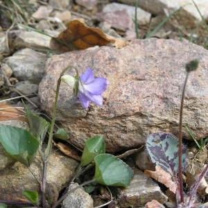 Photographie n°68161 du taxon Viola riviniana Rchb.
