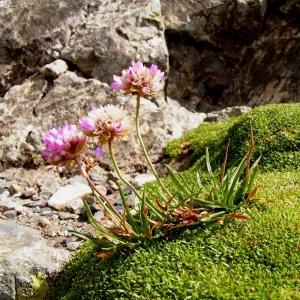 Photographie n°68178 du taxon Armeria alpina Willd. [1809]