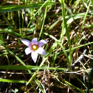 Photographie n°68185 du taxon Romulea bulbocodium (L.) Sebast. & Mauri