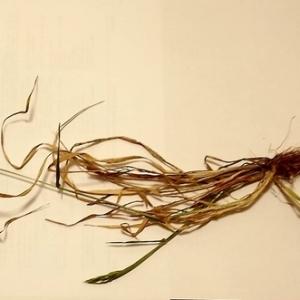 Photographie n°68189 du taxon Anthoxanthum odoratum L. [1753]