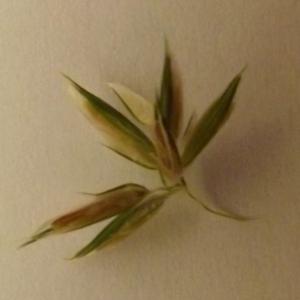 Photographie n°68191 du taxon Anthoxanthum odoratum L. [1753]