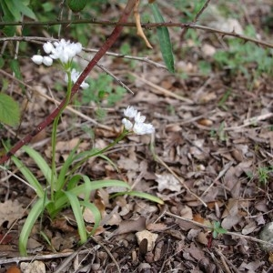 Photographie n°68208 du taxon Allium neapolitanum Cirillo