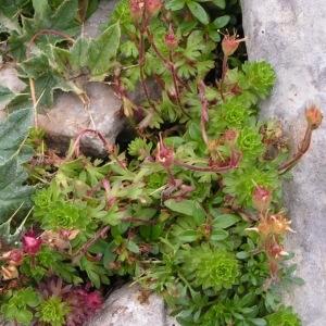 Photographie n°68218 du taxon Saxifraga praetermissa D.A.Webb