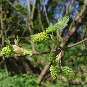 Photographie n°68243 du taxon Acer pseudoplatanus L.