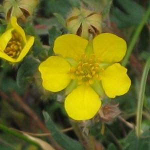 Dasiphora fruticosa (L.) Rydb. [1898] (Potentille arbustive)