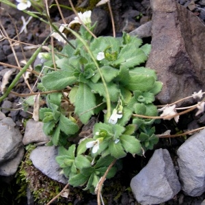 Photographie n°68277 du taxon Arabis alpina L.